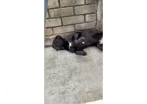 Adopción. Es una perrita muy cariñosa, raza labrador. Se llama Lula.