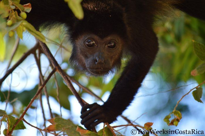 Monkey in Nosara | Two Weeks in Costa Rica