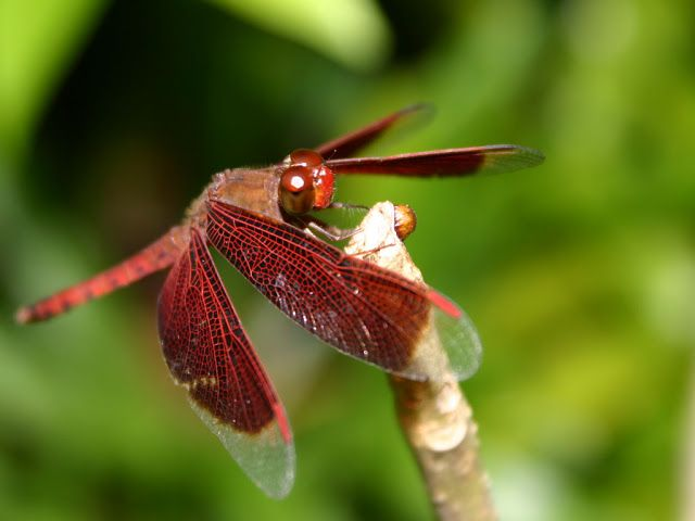 Amazing Dragonfly Insect - Dragonfly Facts, Images, Information, Habitats, News | World Most Amazing, Incredible, Cool Things