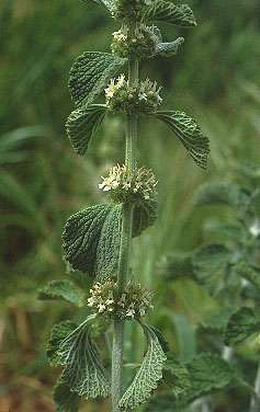 Horehound  is an old medicinal herb,  best known as an agent used in cough and cold preparations.  It is a   perennial member of the  Mint family, and has the characteristic square  stems common to mints.  It is an attractive plant to bees, and has sort of a musky odor  when brushed.  The leaves are covered with white hairs, giving the plant an  overall wooly appearance