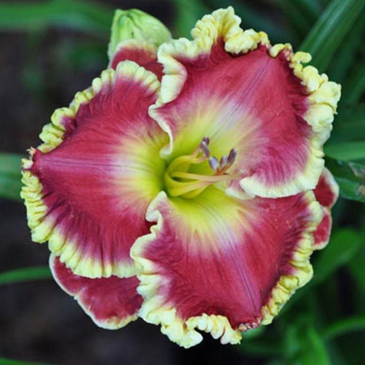 Photo of Daylily (Hemerocallis 'Red Hot Shockalot') uploaded by Calif_Sue