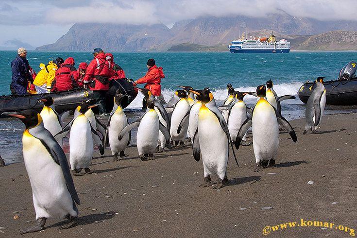 Falklands, South Georgia, Antarctica: King Penguins, Antarctic Adventures, Georgia Penguins, Antarctic Cruise, South Georgia, Antarctica One, Antarctica Yes, Salisbury Plain