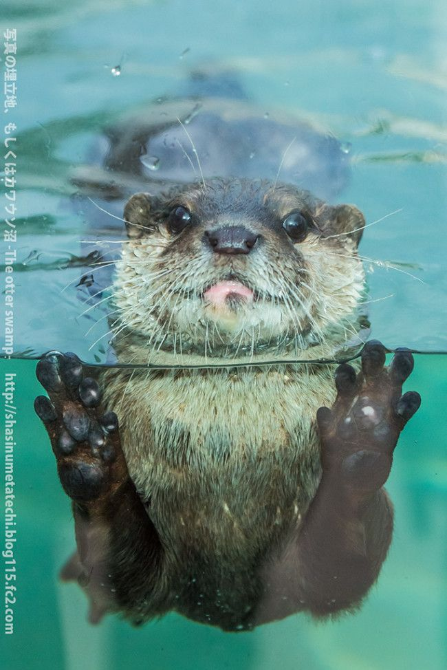 Otter gets up close for a photo - November 15, 2013> KISS IT!!!  They're like water kittens.