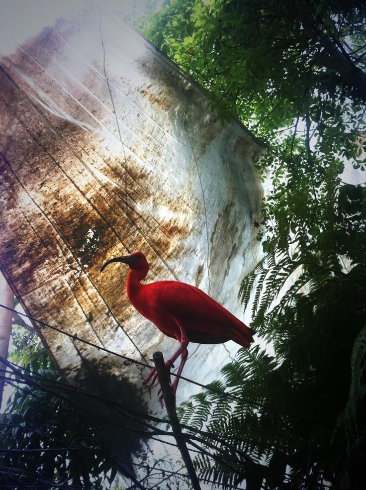 Ibis scarlatto nella biosfera di #genova