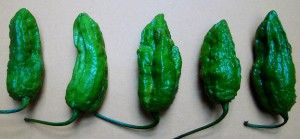 Lifeform of the Week: Ghost peppers are so hot it's spooky | Earth | EarthSky - The Bhut Jolokia – or ghost pepper – hottest naturally-occurring pepper on earth.