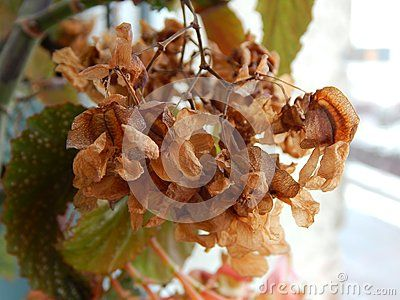 Angel Wing Begonia plant close-up with dry flowers, photographed indoors at winter.