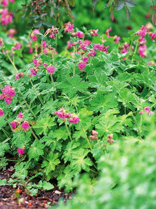 Bigroot Geranium One of the toughest plants that grow in the shade garden, bigroot geranium (Geranium macrorrhizum) doesn't mind heat or drought. And, deer and rabbits typically pass it by in search of tastier morsels. This shade plant puts on a spring show with pink or white flowers; some varieties also offer outstanding fall coloration in their woodsy-scented foliage. Bigroot geranium is hardy in Zones 4-8 and grows 2 feet tall.