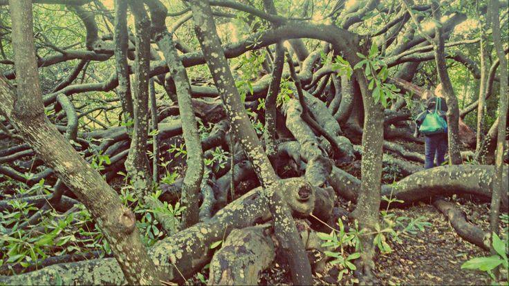 Amazing Tree At Kirstenbosch Botanical Gardens In Cape Town.