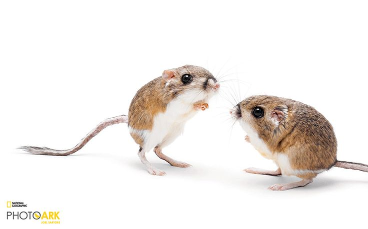 Merriam's Kangaroo Rat - This pair takes the heat in stride. In the southwestern U.S. and Mexico, kangaroo rats are already well adapted to arid conditions, and they've stayed robust during previous temperature hikes. The rodents are quick and flexible reproducers, and their diet of diverse seeds and occasional insects gives them wiggle room if some plant and bug species fizzle in the heat. FORT WORTH ZOO, TEXAS