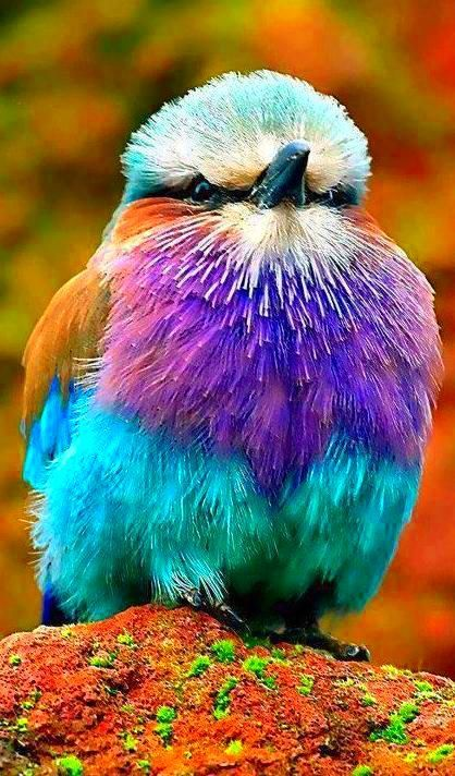 Lilac Breasted Roller. Just had a run in with several PETA supporters. They all had different paint colors!