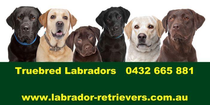 Buy A Labrador Puppy In Nsw Australia Labrador Labrador Puppy