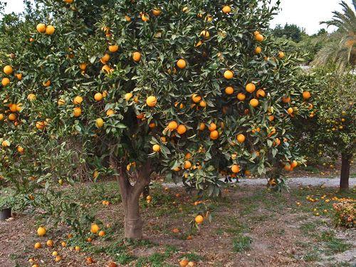 deze groeit ook meestal in de mediterraanse landen
