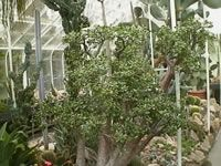 A Large Jade Tree Plant Growing in a Greenhouse