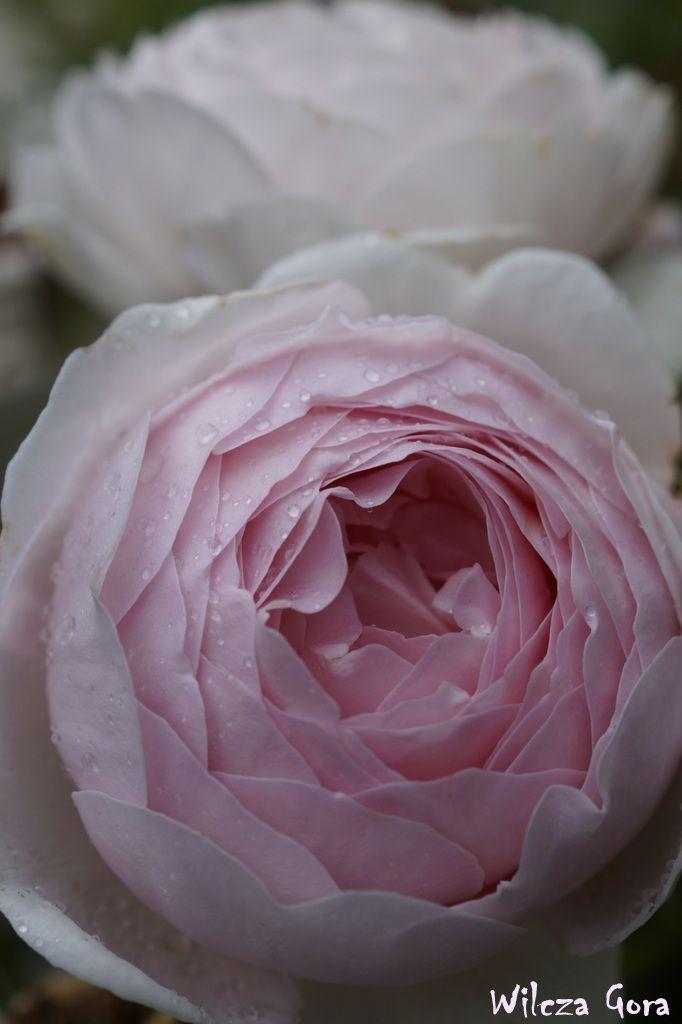 "Rose ""Heritage"""