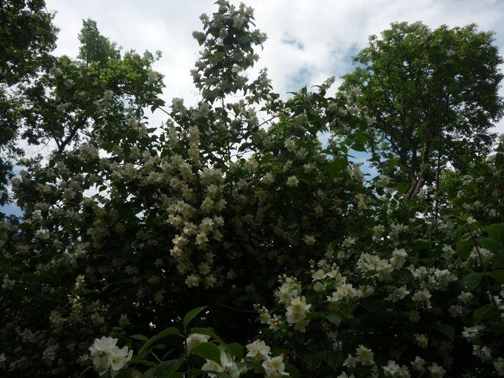 Sokan jázminként emlegetik a jezsáment.  Bár nincsenek rokonságban, de virágaik illata hasonlít. Sokat kibír, illatos, mutatós virágai májustól legalább június közepéig nyílnak. http://kertlap.hu/jazminkent-emlegetett-jezsamen/