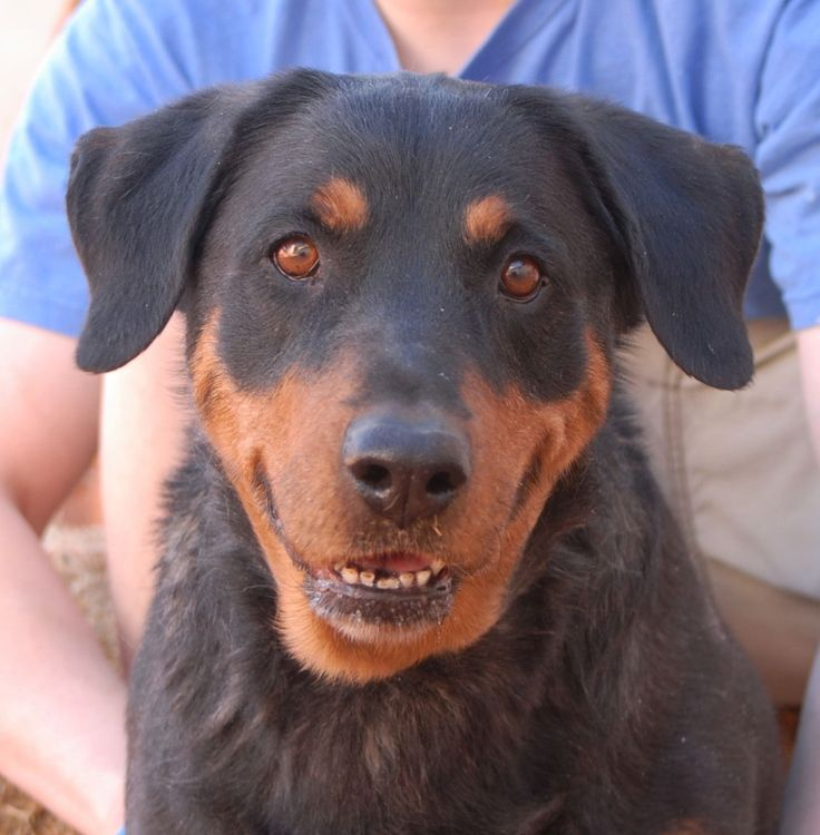Jasmine's goodness glows from her eyes and she is melting our hearts.  She is a Rottweiler mix, perhaps with Australian Shepherd, about 8 years of age and spayed, debuting for adoption today at Nevada SPCA (www.nevadaspca.org).  Jasmine gets along well with most dogs and she is drawn to gentle people.  We rescued her from another shelter that asked for our help.  Please consider sharing her pictures so she can be adopted into a loving, forever home. #adoptionhelp