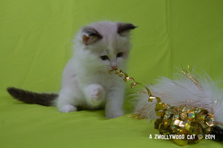 2014: Lightning A Zwollywood Cat. 8 Weeks old Ragdoll kitten, seal bicolour. Cars litter.