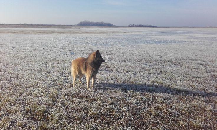 Frozen landscape and a belgian shepherd.