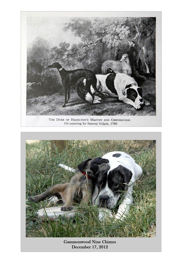 Pied English Mastiffs 1780 to present day.