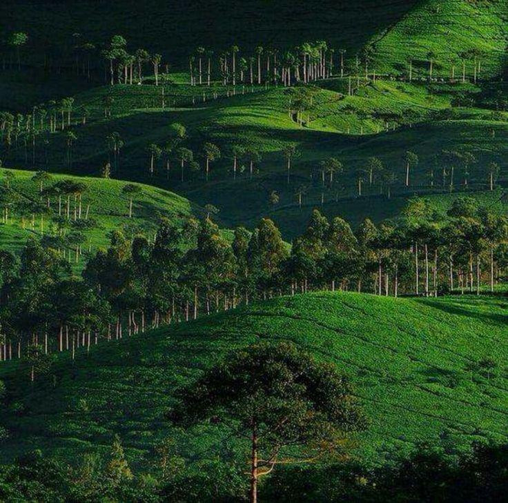 Perkebunan teh Sinumbra di Ciwidey,Jawa Barat.     Berkabut pagi dan sore.