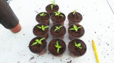 Chilis anbauen – Aussaat bis Auspflanzen (Crash-Kurs Teil 2) - Pflanzen pikieren – wieso, weshalb, warum?
