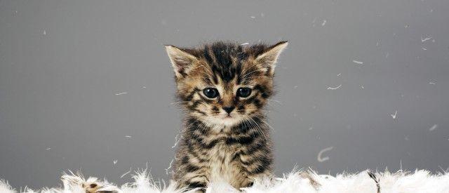 Ny studie: Därför ska du titta på gulliga katter online