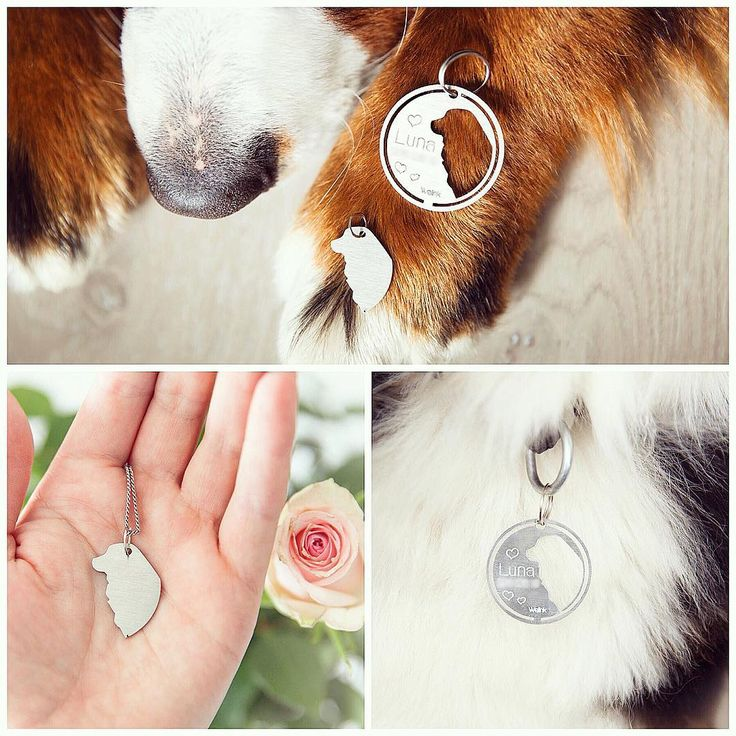 @luna.the.berner on instagram. @welinktags sent me this gorgeous tag 😍 As you can see it consists of two parts, one for me to wear on my collar, and one for mom to have on her necklace, bracelet, keychain etc. Isn't this just the cutest concept ever? 💕 (PS! Mom had to make her telephone number not visible 😋) #sponsored