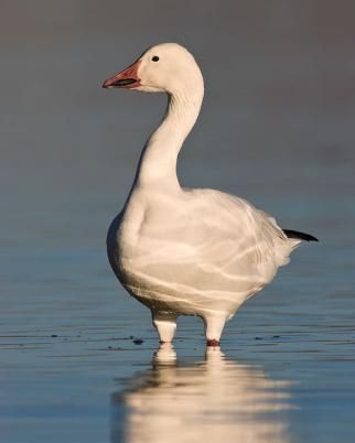 Snow Goose identification