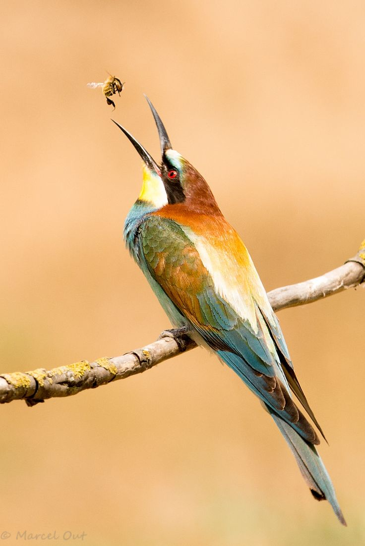 Photo Bee eater by Marcel Out on 500px