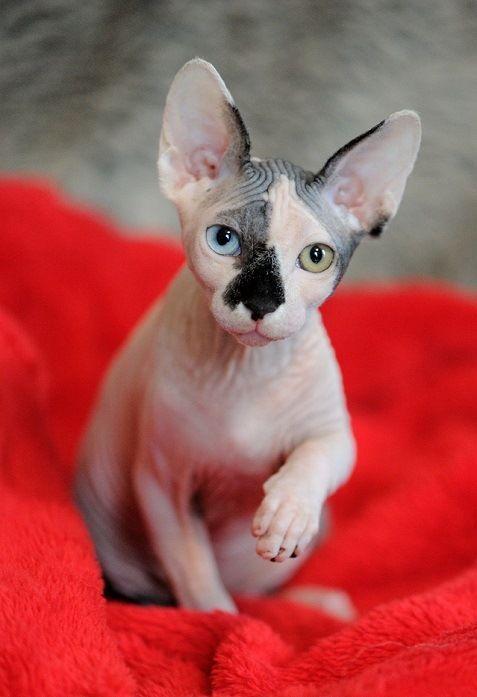 Котенок канадского сфинкса. Красивое фото