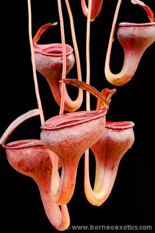 Tropical Pitcher Plants. Can we get These...? I must have them