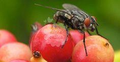 Fantástico! 3 Inseticidas naturais para eliminar moscas de sua casa - # #bactérias #InseticidaNatural #moscas