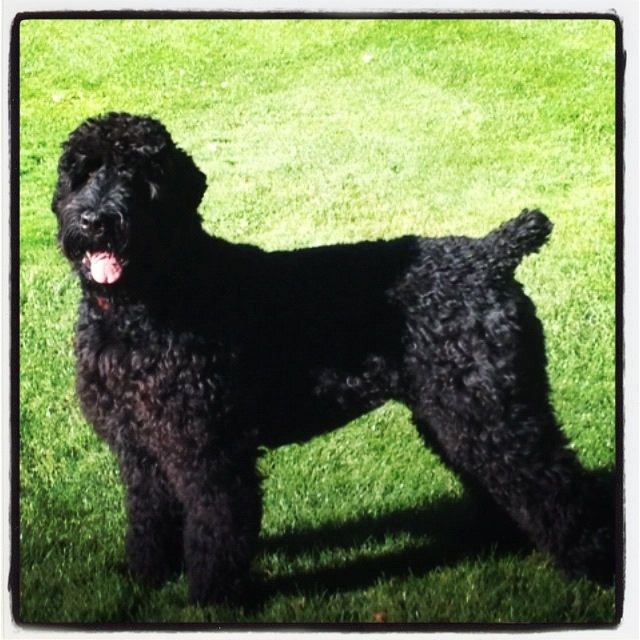 8 best Black Russian Terrier images on Pinterest