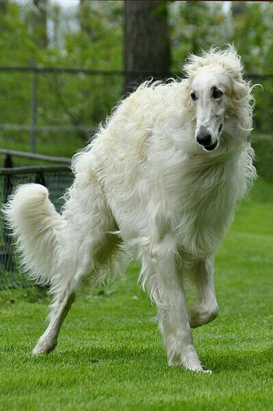 A Borzoi Dog 2476 best Borzo...