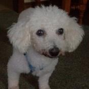 Vanilla 12 year old Bichon. Puppy Mill Survivor