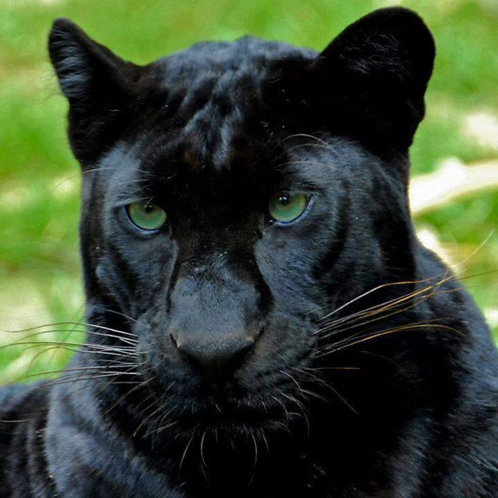 автомобильные диски картинки черных котов пантер сообщалось, что