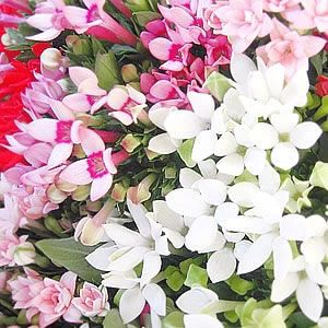 Assorted Bouvardia is a great filler choice for wedding arrangements!