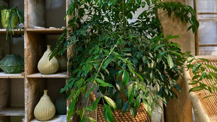 Pictured is the Heteropanax, native to Asia. It looks absolutely stunning in this woven basket. We hope you have a fantastic week. -N1 Garden Centre Team  #N1GardenCentre #Islington #Lifenhancing #interiordesign #hackney #debeauvoir #houseplants #heteropanax #asia #indoorplants