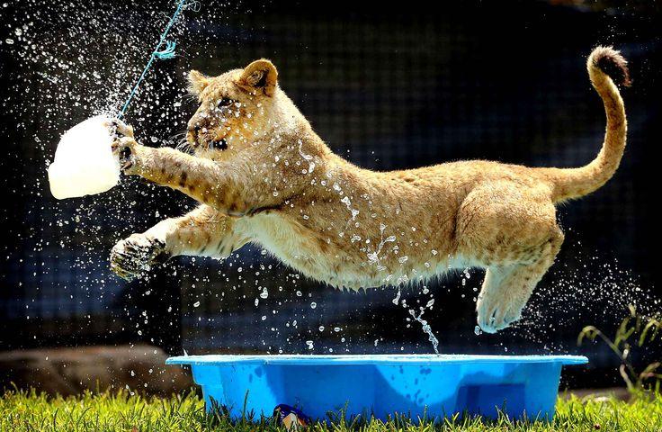 Au zoo Billabong de Port Macquarie en Australie, Misty, âgé de 8 mois, s'éclate à jouer avec l'eau.