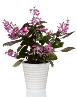 how to grow plectranthus 39 mona lavender 39 indoors discover this exciting new hybrid from south. Black Bedroom Furniture Sets. Home Design Ideas