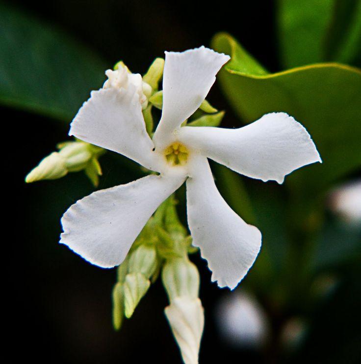 жасмин выращивание