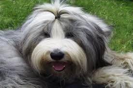 Resultado de imagen de cachorros bobtail