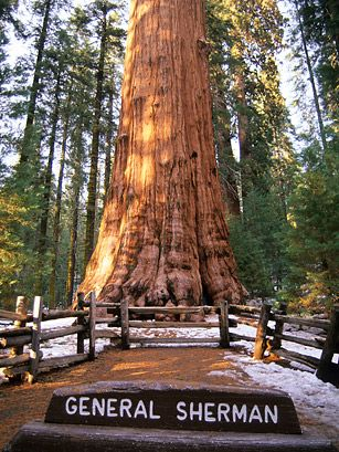 "General Sherman Tree, Sequoia National Park, California      ""It stands as the world's largest tree by volume, according to the U.S. Department of the Interior, measuring 275 feet off the ground and coming in at over 52,000 cubic feet."""