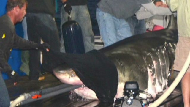 """Great white shark """"Mary Lee"""" enters NC's outer banks – OCEARCH Founder Chris Fischer on the shark's travels"""