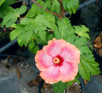 Hibiscus U0027Luck Be A Ladyu0027 With Fascinating Rare Foliage