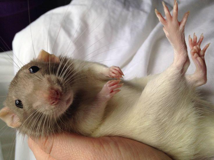 25+ best ideas about Dumbo rat on Pinterest | Pet rats ... | 736 x 552 jpeg 53kB