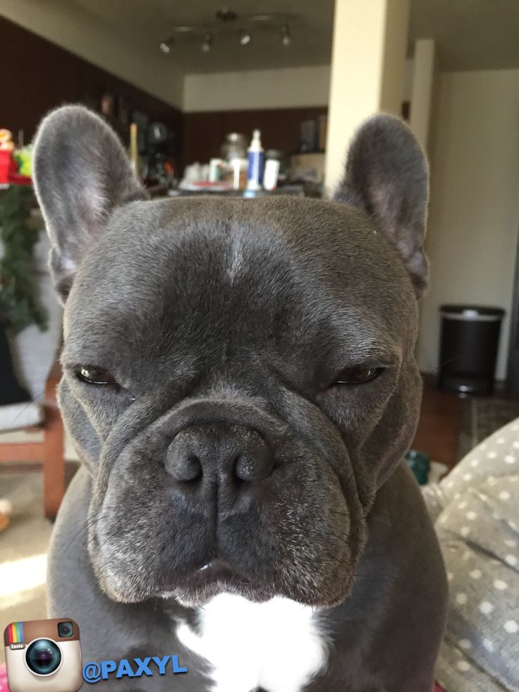 Paxyl Blue, the French Bulldog