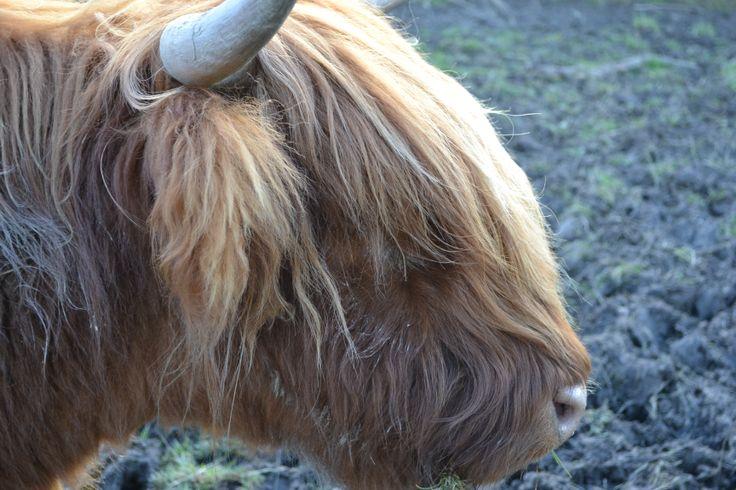 Cow Close Up, CUTE! taken by me, Michaela Gambella