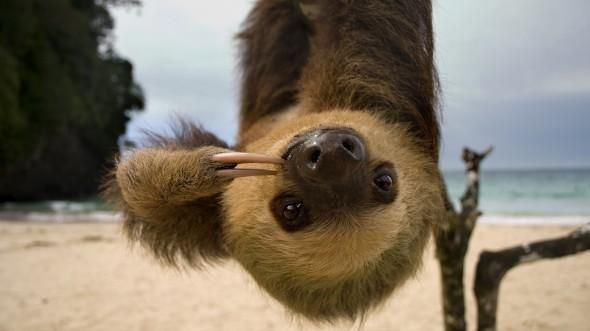 Sloths - Sloths live in the tropical forests of Central and South America. With their long arms and shaggy fur, they resemble monkeys, but they are actually related to armadillos and anteaters. #WildAnimals #AnimalFacts