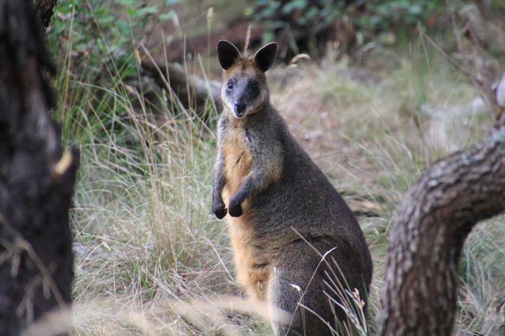 Swamp wallaby on Oswin Roberts Reserve walking track, Phillip Island, Australia